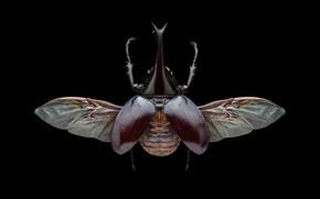 Картинка макро, крылья, жук, насекомое, черный фон, коричневый, вид сверху, рогатый, симметрия, жук-носорог
