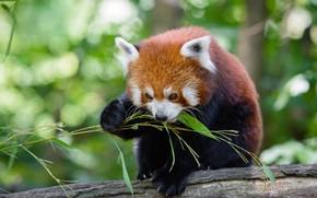 Картинка морда, листья, поза, фон, еда, бамбук, красная панда, бревно, обед, боке, малая панда