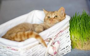 Картинка кошка, трава, кот, взгляд, уют, рыжий, мордочка, милый, лежит, корзинка, сердечко