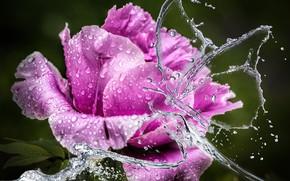 Картинка цветок, вода, капли, цветы, брызги, крупный план, фон, сиреневый, обработка, лепестки, бутон, пион
