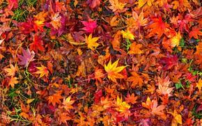 Обои осень, листья, фон, colorful, red, клен, background, autumn, leaves, осенние, maple