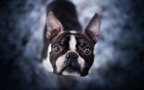 Картинка взгляд, морда, собака, боке, Бостон-терьер