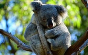 Картинка листья, ветки, поза, дерево, сон, спит, коала, закрытые глаза