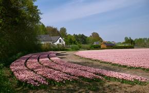 Картинка поле, небо, солнце, деревья, цветы, тюльпаны, домики, розовые, Нидерланды, Egmond