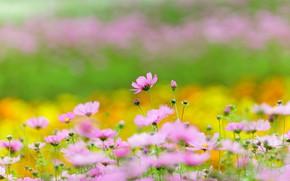 Картинка поле, лето, космос, цветы, полосы, фон, стебли, поляна, желтые, сад, луг, розовые, клумба, цветение, много, …