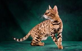 Картинка кошка, кот, взгляд, морда, поза, темный фон, котенок, окрас, стоит, котёнок, зеленый фон, желтые глаза, …