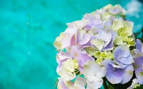 Картинка макро, цветы, Гортензия