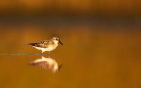 Картинка природа, птица, Малый песочник