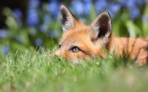 Картинка трава, взгляд, природа, фон, лиса, рыжая, лисица, боке, лисенок, лисёнок