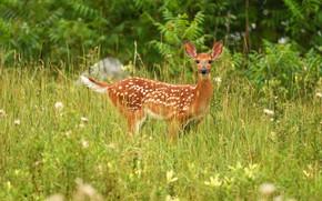 Картинка зелень, лето, трава, взгляд, природа, олень, луг, олененок, оленёнок, бэмби, белохвостый олень