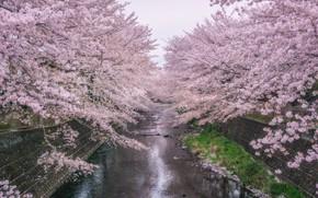 Картинка деревья, парк, река, весна, сакура