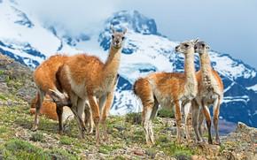 Картинка горы, компания, стадо, ламы, снежные вершины