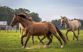 Картинка фон, лошади, бегут