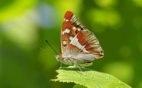 Картинка макро, лист, фон, бабочка, крылышки, Переливница ивовая
