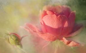 Картинка капли, свет, роза
