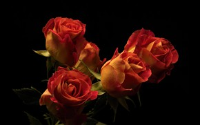 Картинка цветы, розы, тёмный фон