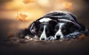 Картинка осень, листья, плед, парочка, две собаки, мордашки, Бордер-колли