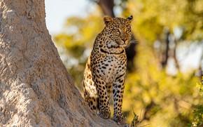 Картинка леопард, дерево, боке, листва, сидит, желтый фон, осень