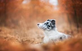 Картинка осень, лес, взгляд, оранжевый, парк, фон, листва, собака, малыш, щенок, лежит, профиль, боке, голубоглазый, австралийская …