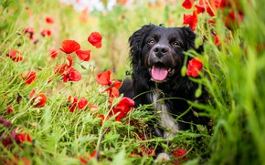 Картинка зелень, поле, язык, лето, взгляд, морда, цветы, природа, поза, отдых, маки, портрет, собака, позитив, красные, …