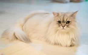 Картинка кошка, кот, взгляд, портрет, пол, лежит, белая, пушистая, светлая, персидская, колор-пойнт, выразительный