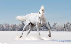 Картинка зима, поле, лес, белый, взгляд, морда, снег, поза, фон, животное, конь, лошадь, светлый, грива, белая, …