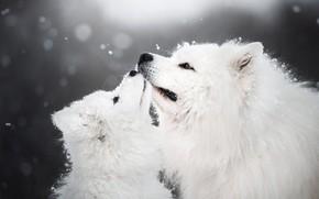 Картинка зима, животные, собаки, снег, щенок, детёныш, самоед