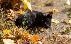 Картинка осень, кошка, кот, взгляд, морда, листья, свет, черный, лежит, боке