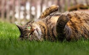 Картинка кошка, глаза, поза, лежит