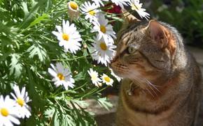 Картинка кошка, лето, кот, морда, цветы, серый, портрет, ромашки, букет, сад, белые, полосатый