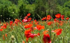 Картинка зелень, свет, цветы, маки, луг, красные, много, маковое поле