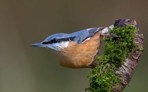 Картинка птица, мох, коряга, поползень