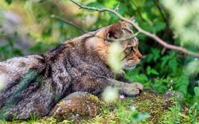 Картинка зелень, кошка, лето, кот, взгляд, морда, ветки, природа, поза, лежит, профиль, полосатый, дикий, лесной, европейский