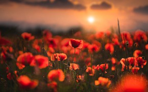 Картинка поле, лето, солнце, облака, пейзаж, закат, цветы, природа, маки