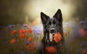 Картинка природа, друг, маки, собака