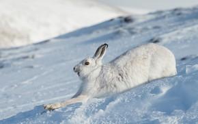 Картинка зима, морда, снег, заяц, бег, профиль, зайчик