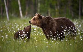 Картинка поляна, медведи, медвежонок, детёныш, медведица