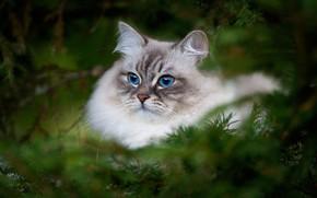 Картинка кошка, взгляд, портрет, размытость, мордочка, красавица, голубые глаза, котейка, еловые ветки, Невская маскарадная кошка, Наталья …
