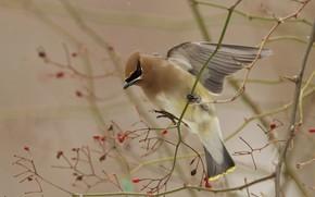 Картинка ветки, ягоды, птица, крылья, взмах, свиристель
