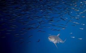 Картинка море, рыбы, акула