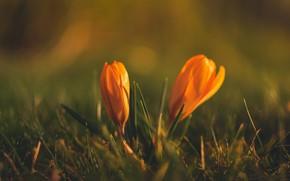 Картинка трава, цветы, поляна, размытие, весна, желтые, крокусы, боке