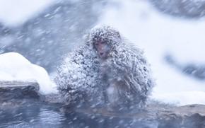 Картинка холод, зима, вода, снег, природа, поза, берег, две, шерсть, обезьяна, пасть, пара, обезьяны, обезьянки, мордашка, …