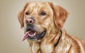 Картинка язык, морда, фон, фотошоп, портрет, собака, текстура, Лабрадор