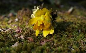 Картинка цветок, желтый, поляна, мох, лежит, боке