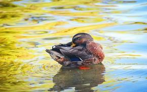 Картинка вода, поза, птица, дно, яркие цвета, утка, водоем, чистит перышки