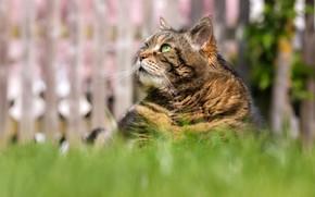 Картинка кошка, трава, кот, взгляд, морда, серый, забор, портрет, сидит, полосатый, зеленые глаза, боке, толстый, смотрит …