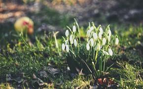 Картинка природа, весна, подснежники