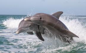 Картинка брызги, океан, дельфины, парочка