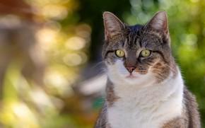 Картинка кошка, кот, взгляд, морда, свет, серый, фон, портрет, полосатый, боке, с белым, белая грудка