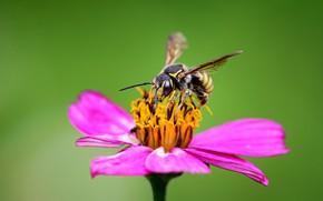 Картинка цветок, макро, пчела, цинния, Rodrigo Godinez